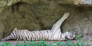 sova tigerwhite Arkivfoton