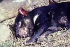 Sova upp slut för tasmanian jäkel, arkivbilder