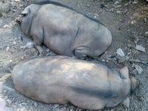 Sova vildsvinet i naturlig miljö Arkivfoton
