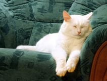 sova white för katt Arkivbilder