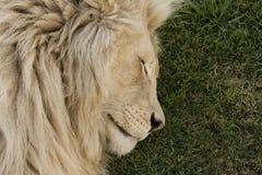 sova white för lion Arkivfoton