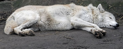 sova wolf Arkivbilder