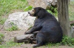 2007 sovar kall innsbruck för den april björnen pull vattenzooen Royaltyfri Bild