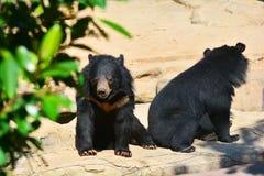 2007 sovar kall innsbruck för den april björnen pull vattenzooen Royaltyfria Bilder