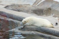 2007 sovar kall innsbruck för den april björnen pull vattenzooen Arkivfoto