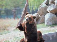 2007 sovar kall innsbruck för den april björnen pull vattenzooen Arkivbilder