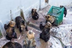 2007 sovar kall innsbruck för den april björnen pull vattenzooen Royaltyfria Foton