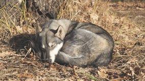Sover den västra siberianen Laika för hundaveln under träd på torra sidor stock video