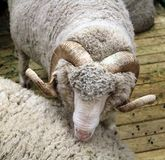 Soviet merino sheep is a hoofed mammal. With thick hair and edible meat royalty free stock photos