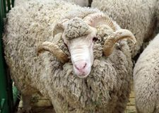 Soviet merino sheep is a hoofed mammal. With thick hair and edible meat stock image