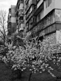 White blossoms in front of a Soviet block in Ukraine. The Soviet Union, officially the Union of Soviet Socialist Republics, was a socialist state in Eurasia that stock photo