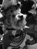 Sovranità canina Fotografia Stock