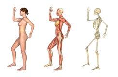 Sovrapposizioni anatomiche - femmina con il braccio ed il piedino piegati Immagine Stock Libera da Diritti