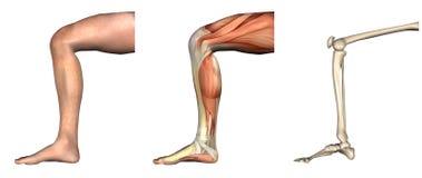 Sovrapposizioni anatomiche - ginocchio piegato Fotografia Stock Libera da Diritti