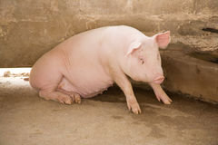 Sow. A large sow trying to get up Stock Photos