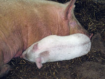 Sow and baby pig Stock Photography