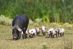 Sow and baby pigs. Sow and crowd of little pink baby pigs Stock Photo