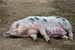 Sow of Bayeux lying on ground Stock Photo