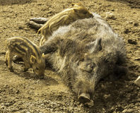 Sow boar with young. A sow boar tending to her young Royalty Free Stock Image