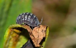 Sow bug on a dying leaf.