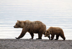 Sow and cub Stock Photography
