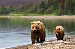 Sow and cub. Grizzly sow with cub at dawn walking on the beach Royalty Free Stock Image