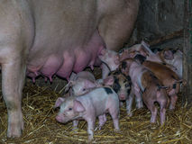 A sow. Feeding its just born piglets Royalty Free Stock Photography