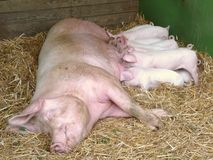 Sow Feeding Piglets Stock Photo
