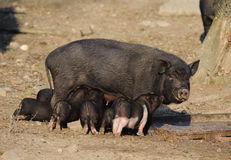 Sow feeding piglets Royalty Free Stock Photo
