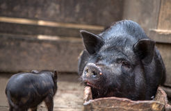 Sow lies in the trough Royalty Free Stock Photography