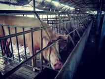 Sow in livestock farm stock image