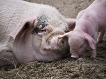 Sow-and-a-pig Stock Images