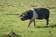 Sow Pig Royalty Free Stock Photos