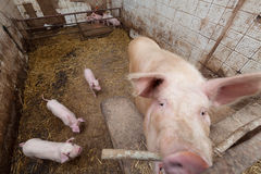 Sow pig with piglets Royalty Free Stock Photos