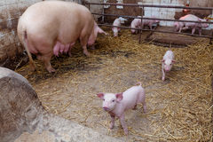 Sow pig with piglets Royalty Free Stock Photo