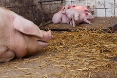 Sow pig with piglets Royalty Free Stock Images