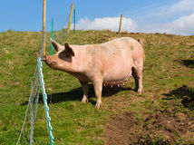 Sow pig standing in a field Stock Photo