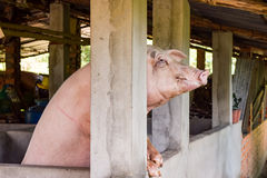 Sow pig standing on hind legs. In pig sty.  Farm located on the outskirts of Ho Chi Minh City Stock Image