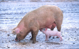 Sow with piglet Royalty Free Stock Photos