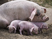 Sow and piglet Stock Image