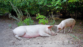 Sow with piglet Stock Photo