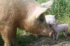 Sow and piglet. Big and little Stock Photography