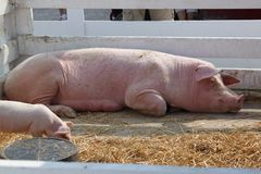 Sow and a piglet. Mama pig and a piglet Stock Image