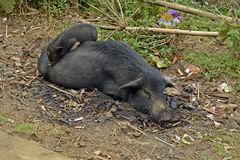 Sow and piglet. In vietnamese village stock photography