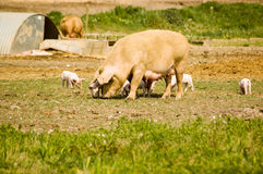 Sow with Piglets Stock Photography