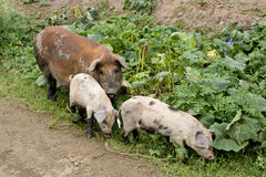 Sow with piglets. Sow pig with 2 piglets looking for food in weeds Stock Images