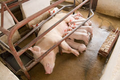 Sow and piglets Royalty Free Stock Photography