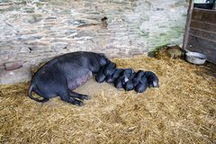 Sow and Piglets. Litter of Piglets and mother royalty free stock images