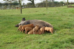Sow and piglets in a farm or a farmland. pigs. Royalty Free Stock Photo