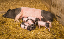 Sow and piglets on hay. Female pig from the Swabian-Hall swine, a german breed, lying on straws in its farm lair with six baby pigs around it Stock Photography